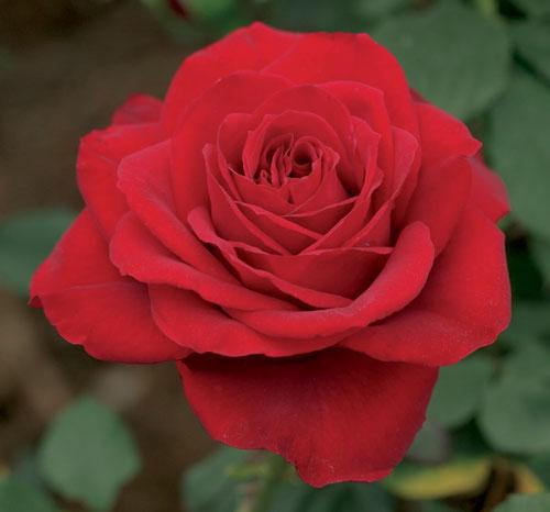 Olympiad, photo Weeks Roses
