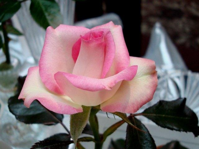 Joy, Miniature Rose Award of Excellence Winner