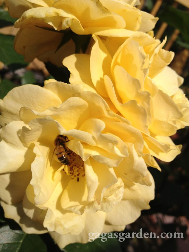 Julia Child, everyone's favorite floribunda with a bee visiting