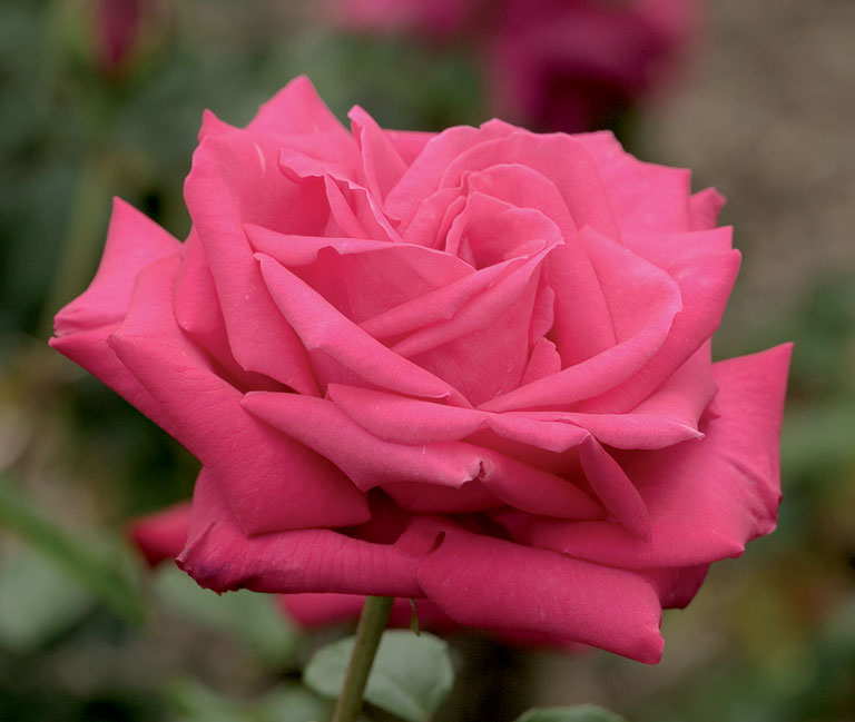 Beauty Rose: Miss All American Beauty Rose For A Day Daddy