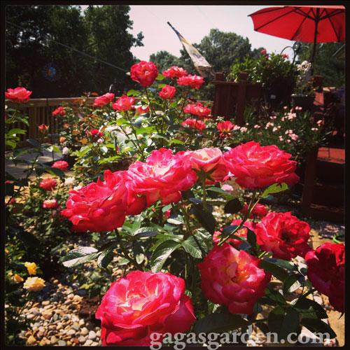 Dick Clark, A Grandiflora Rose