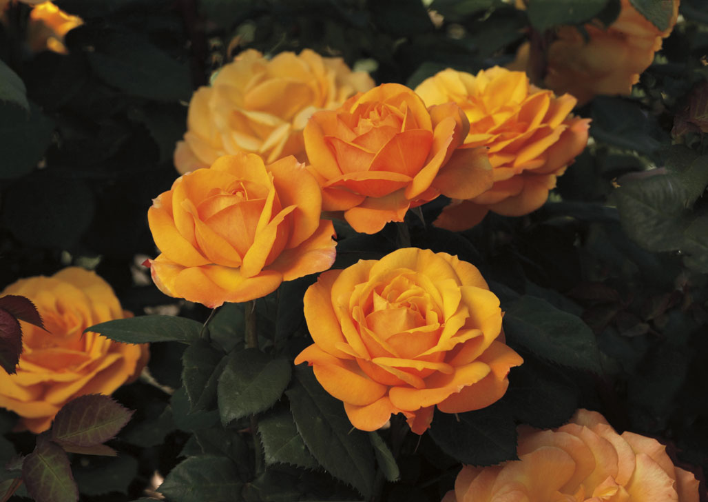 Good As Gold, Hybrid Tea Rose, New from Weeks Roses 2014