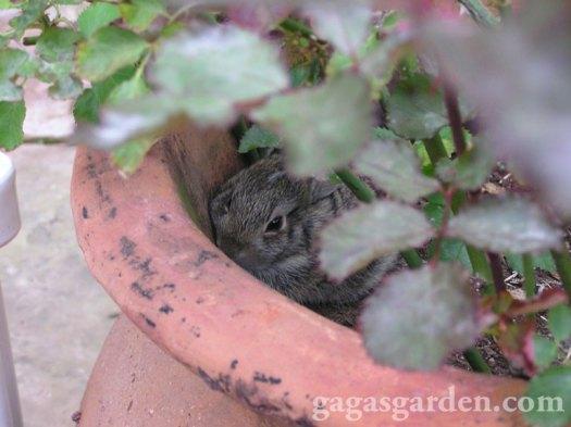 Baby Bunnies Born in My Minaiture Rose Pot