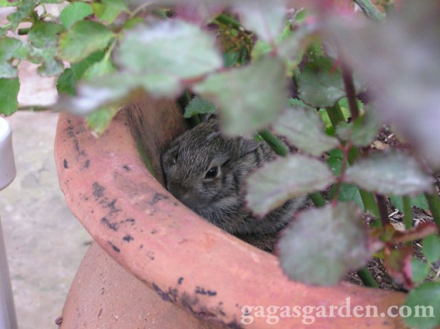 Baby Bunnies Born in My Minaiture Rose Pot