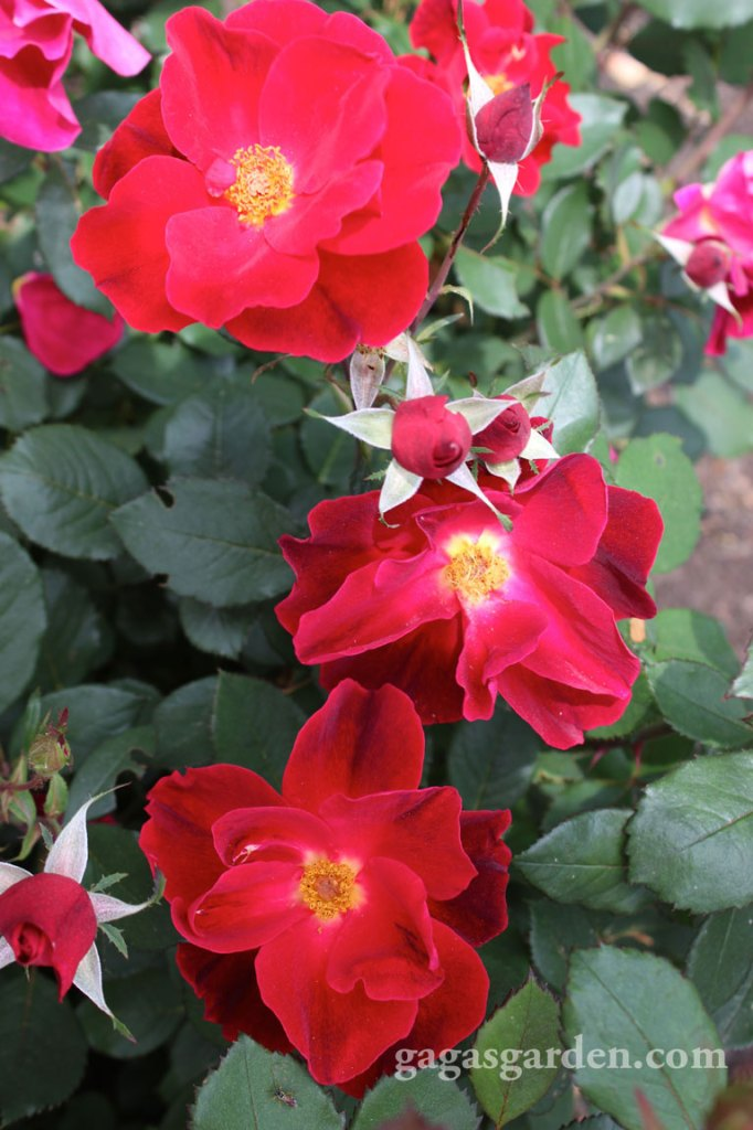 'Miracle On The Hudson' | Best Shrub| by Robery Neal Rippetoe @FrancisRoses Most Disease Resistant | Best Growth Habit | Overall Winner | Best Over All Biltmore Rose Trials