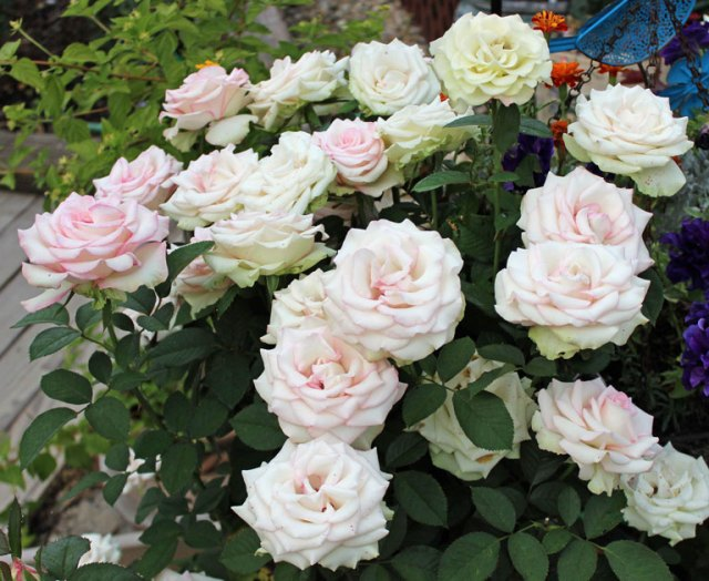 """'Moonstone' as at home in the garden as """"King of Show"""""""