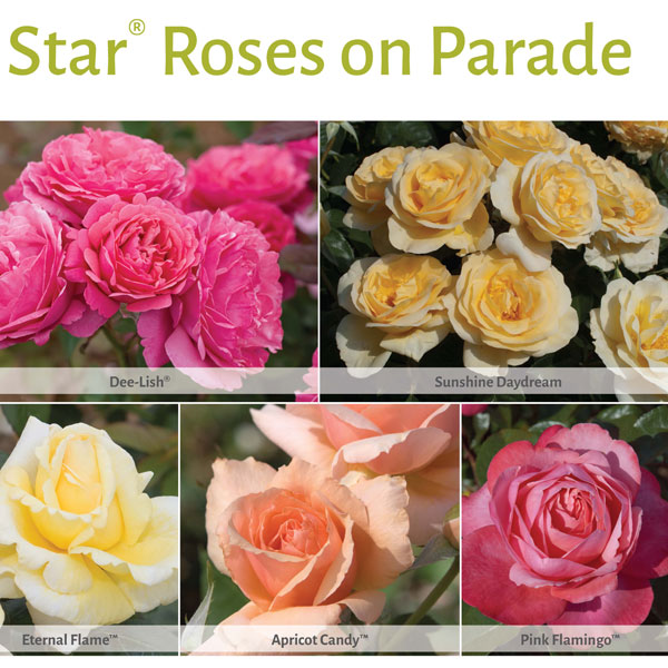 Star Roses on Parade
