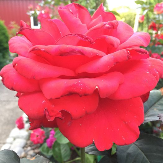 Legend   A Roses As Big As A Barn ;)