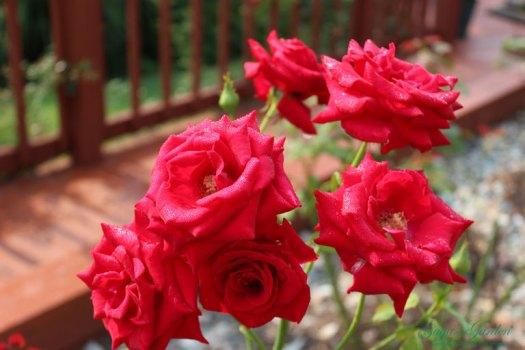 Veteran's Honor in the Rose Garden in September in Illinois
