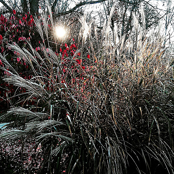 Glistening at Sunrise with the Burning Bush | The Mexican feather grass (Stipa tenuissima),