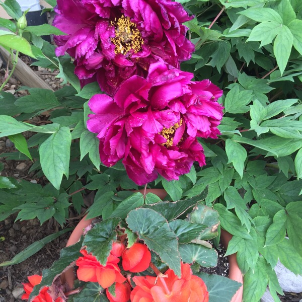 'Black Dragon' Peony Blooms | Tuberous Begonias for a Size Comparison