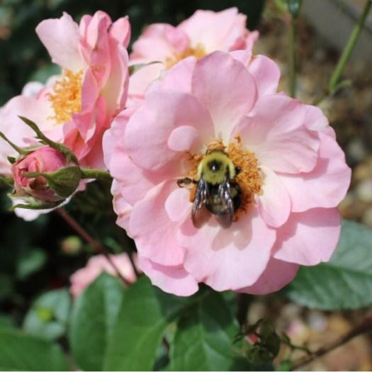 'Kimberlina' Floribunda Rose with a Bumble Bee