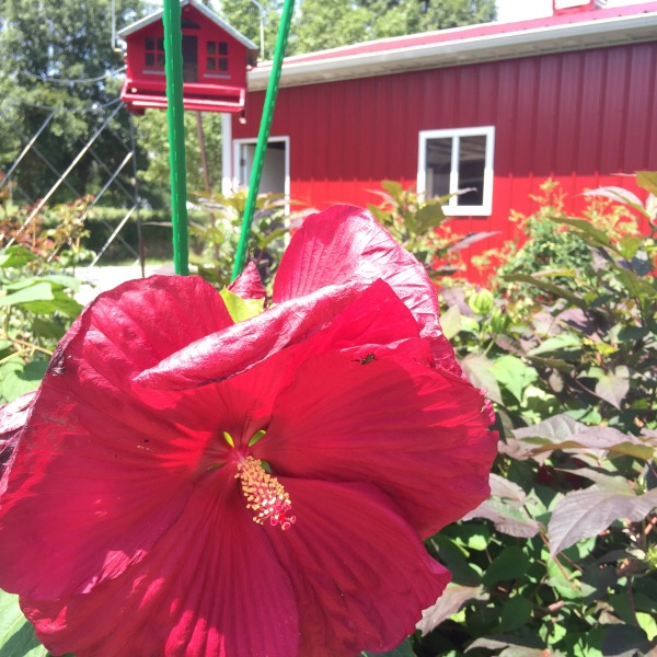 Summerific® 'Cranberry Crush' Rose Mallow Hibiscus hybrid