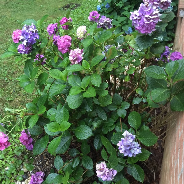 ydrangea Bush With Multiple Shades of Blooms