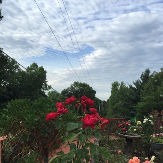 'Dublin Bay' Candelabra Large Flowered Climbing Rose | Illinois Blue Skies