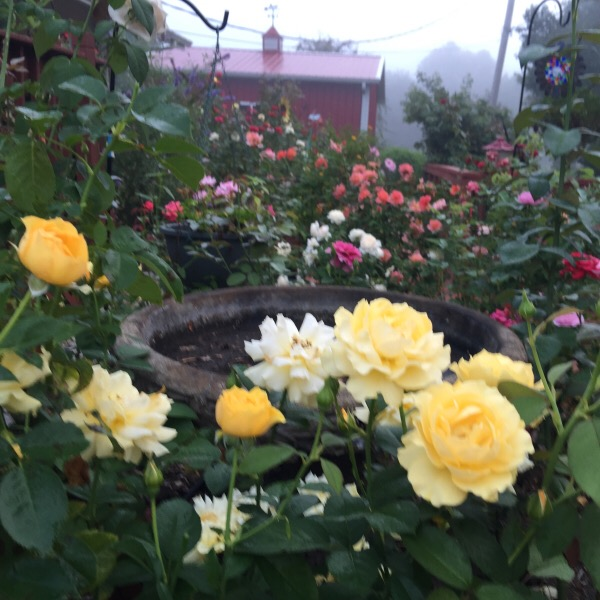 'Julia Child' floribunda grow in the same shapely form every year