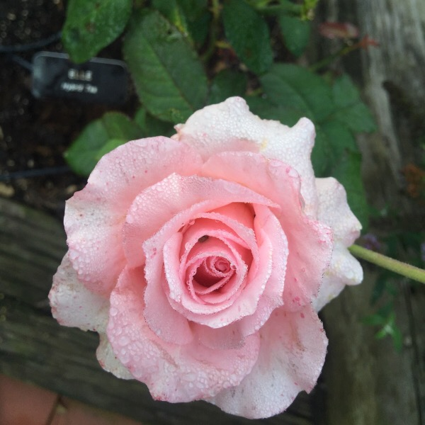 'Elle' hybrid tea rose by Mouchette/Meilland Named for my granddaughters with an engraved name plate