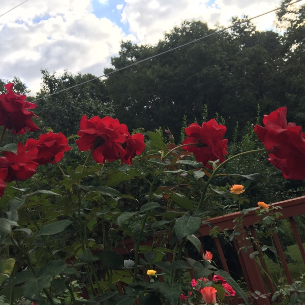'Oh My!' Floribunda Roses Against A September Sky