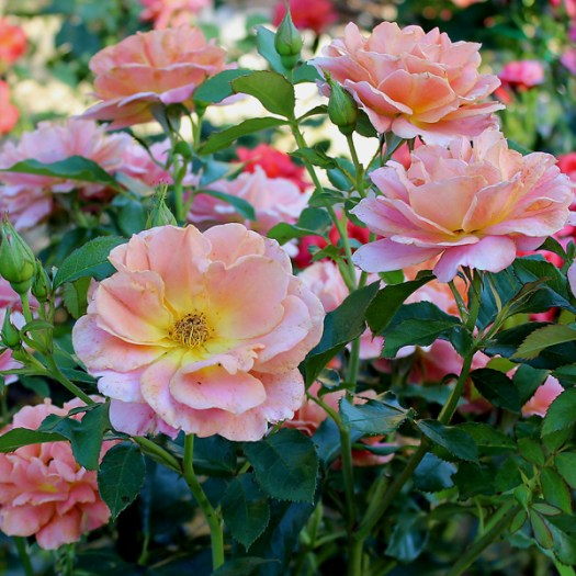 'Pumpkin Patch Russet Floribunda Rose in the Fall