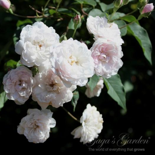 "'Honeymoon™ Arborose®"" Created by Kordes North America Distributed by Newflora, LLC"