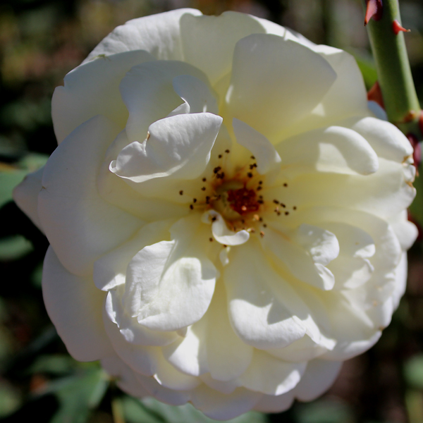 'Polar Express™ Sunbelt®' Rose Arborose® Collection | Single bloom shot taken of winning shrub Sunday, September 26, 2016
