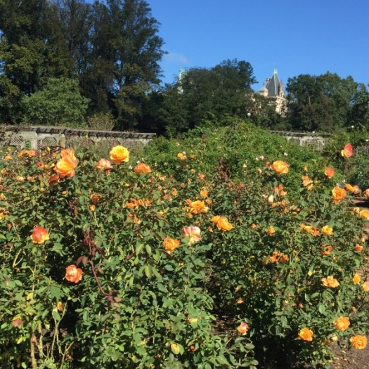 'Strike It Rich' A Perfect Rose Color Match | The Biltmore House in the Distance