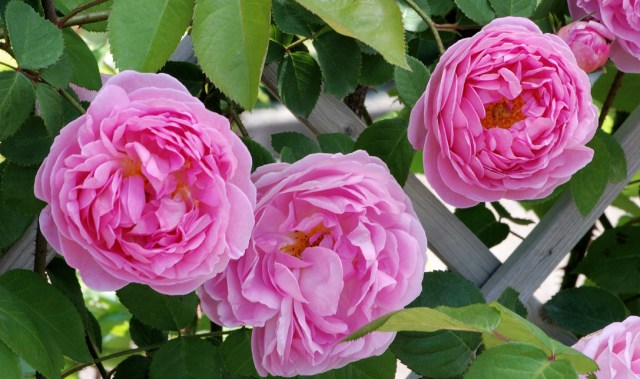 "'Constance Spry' the Progenitor of ""English Roses"""