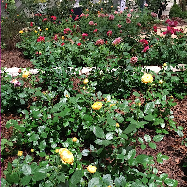 'Julia Child' | Easy~To~Love Roses by Weeks Roses Donated by Weeks Roses Forced Into Bloom for The Chicago Flower & Garden Show In March