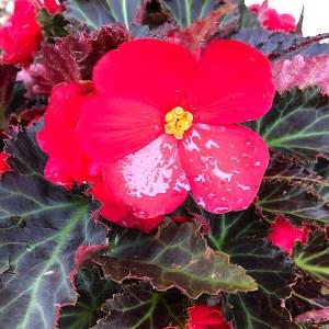 Red Tuberous Begonia Single Flower