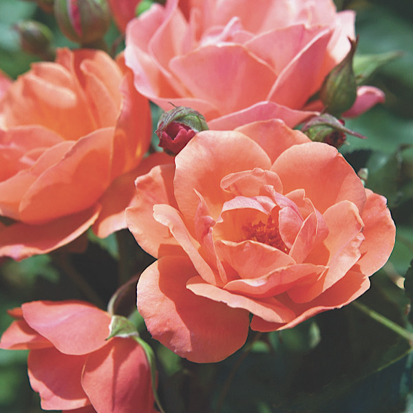 "George & Edith Vanderbilt Award & Chauncey Beadle Award for 'Best Shrub' & 'Most Outstanding Rose' ""The Coral Knock®Out Rose bred by Will Radler"