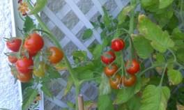 Balkon Tomaten
