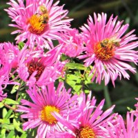 Deine Balkon-Blumen : Retter für Bienen und Schmetterlinge