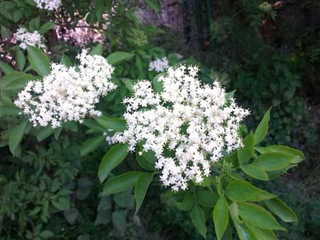 Holunder reife Blüten