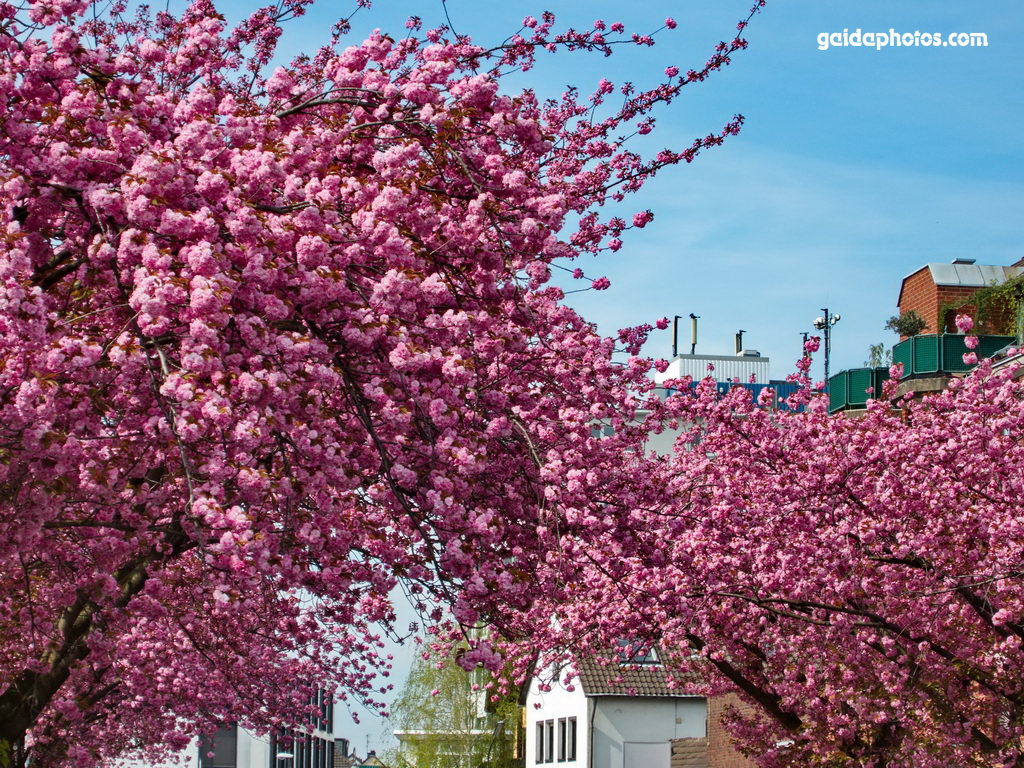 Rodenkirchen Frühling Nibelungenweg Kirschblüte