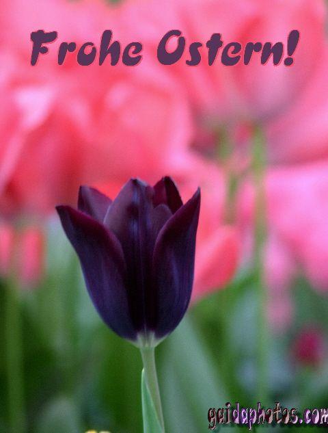 schwarze Tulpe mit Ostergrüßen