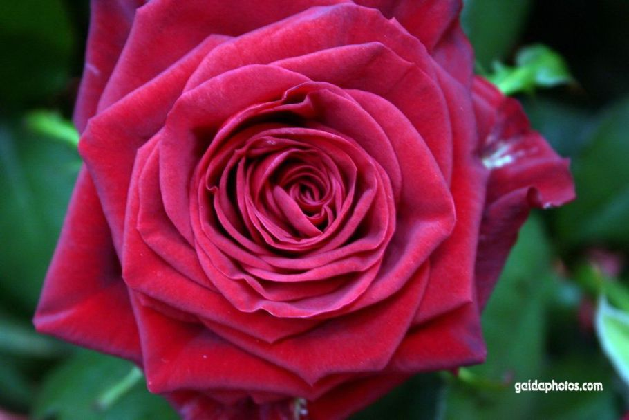 Blumenfoto: rote Rose