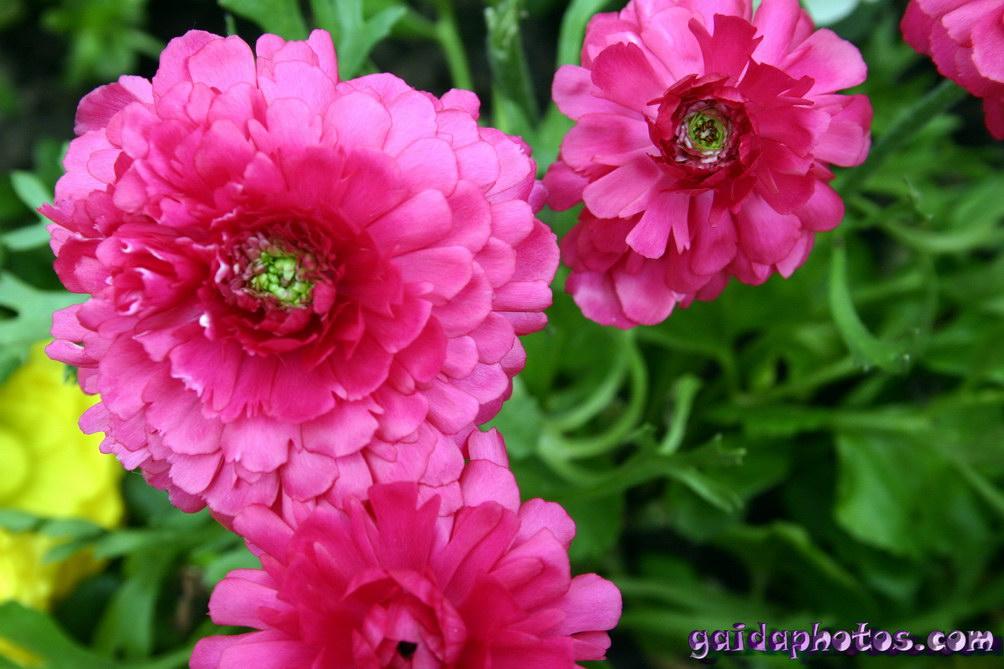Osterbilder, Osterblumen: Ranunkel pink
