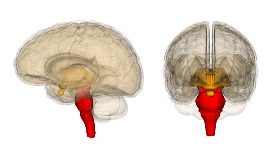 Brainstem