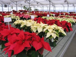Annual Poinsettia Sale at UF