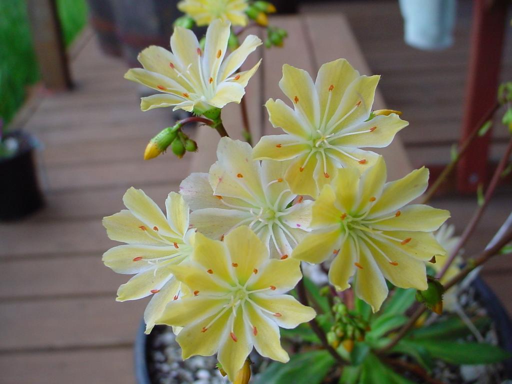 Image Lewisia Cotyledon Hybrid