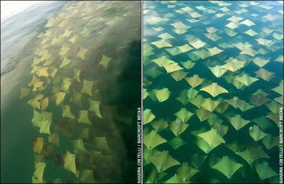Golden Rays Migrating off Mexican Coast