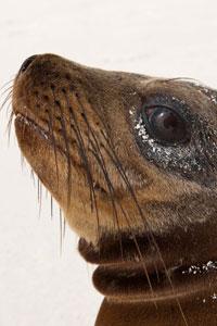 November Galapagos Sea Lion
