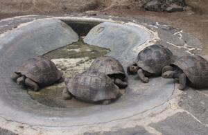 Galapagos Baby Tortoises