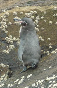 Galapagos Penguin at Fernandina