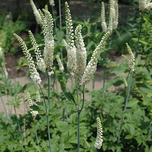 Cimicifuga racemosa: in menopausa meglio di estrogeni e antidepressivi