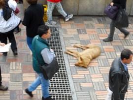 Perro en Plaza de Bolivar en manifestación contra destitución de Gustavo Petro