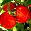 Tutti i geni del pomodoro