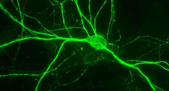 Apprendimento e memoria modificano le sinapsi