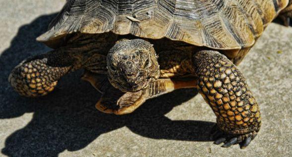 Canada, 2.7 milioni di dollari per salvare le tartarughe dalle auto