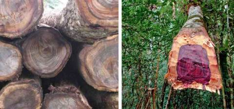 Keungulan kayu sonokeling